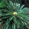 Цикасови палми – Представители