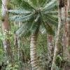 Цикасови палми – произход и разпространение