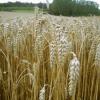 Зърнено-житни култури.Обща характеристика