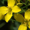 Ботаническа характеристика на рапица