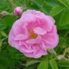 Биологични изисквания на казанлъшката роза