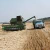 Систематика,хибри на царевицата