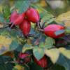 Ботаническа характеристика на шипките