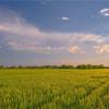 Особености в агротехниката на царевицата за силаж и зелен фураж