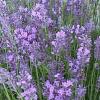 Ботаническа характеристика на лавандулата
