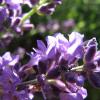 Систематика и сортове на лавандулата