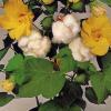 Ботаническа характеристика на памука