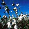 Систематика и сортове на памука