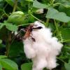 Особености в разтежа и развитието на памука