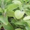 Биологични изисквания на градинския чай