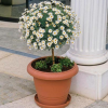 Маргаритка (Chrysanthemum frutescens)
