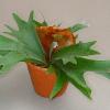Папрат Еленови Рога (Platycerium bifurcatum)