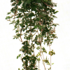 Микания (Mikania ternata)