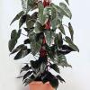 "Червенолист филодендрон (Philodendron erubescens ""Red emerald"")"