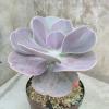 Ешеверия (Echeveria gibbiflora)