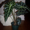 Трилистник (Alocasia sanderiana)