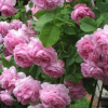 Групиране на градинските рози