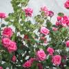 Размножаване на розите част 1