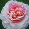Оформяне и резитба на розовите храсти