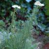 Achilea millefolium – Равнец