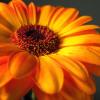 Гербер – стайно и градинско растение