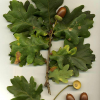 Летен дъб — Quercus robur L. (Q. pedunculata Ehrh.)