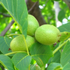 Орех — Juglans regia L. Сем. Орехови — Luglandaceae