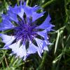Синя метличина — Centaurea су anus L