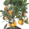 Портокал каламондин у дома