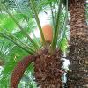 Сагови палми – Цикасови
