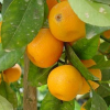 Отглеждане на плодни дръжчета у дома
