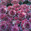 Сухоустойчивост на растенията