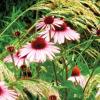 Топлоустойчивост на растенията