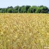 Агротехника за царевицата