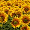 Ботаническа характеристика на слънчогледа
