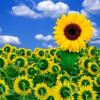 Систематика и сортове на слънчогледа