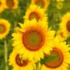 Биологични изисквания на слънчогледа