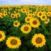 Особености в разтежа и развитието на слънчогледа