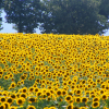 Агротехника за слънчогледа