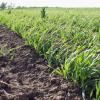 Биологични изисквания на ориза