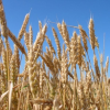 Болести на царевицата