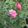 Ботаническа характеристика на казанлъшката роза