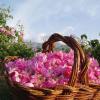 Систематика и сортове на казанлъшката роза