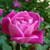 Особености в разтежа и развитието на казанлъшката роза
