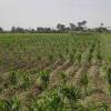 Особености в разтежа и развитието на зърнено-бобови култури