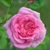 Агротехника за казанлъшката роза