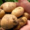 Агротехника за картофите