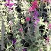 Ботаническа характеристика на салвията/мечо ухо/