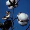 Агротехника за памука