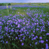 Ботаническа характеристика на лена